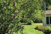 Lilacs in bloom in the spring