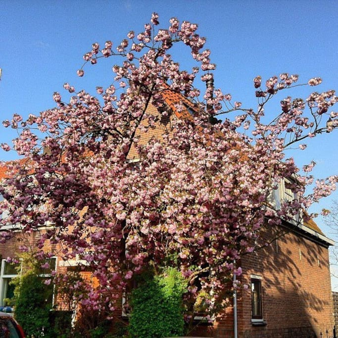 Cherry blossom in spring time.  Front side of the house.