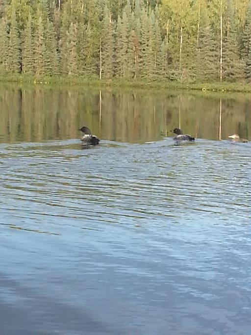Loons on Stevens Lake
