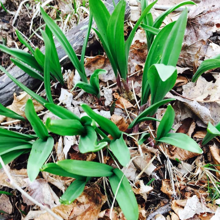 Young Spring Ramps