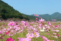 Cosmos Flower viewing - 11th to 27th October. 10 min by bus from the house, just next to the Green tea ceremony Traditional garden.