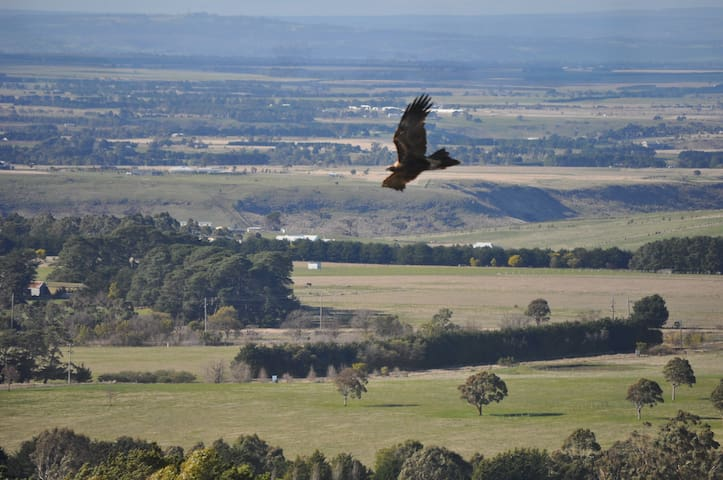 Beautiful wedge tailed eagles
