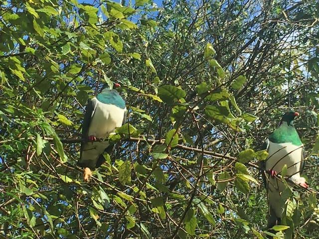 Meet the local kereru (native wood pigeon)