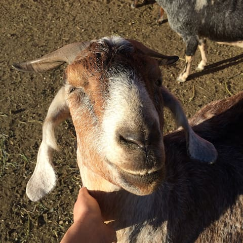 Goats love to be scratched.