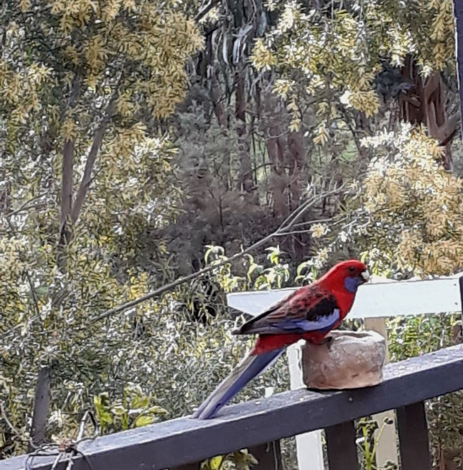 Crimson Rosella snacking on the deck