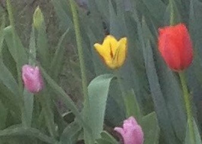 Tulips in front yard new in 2018