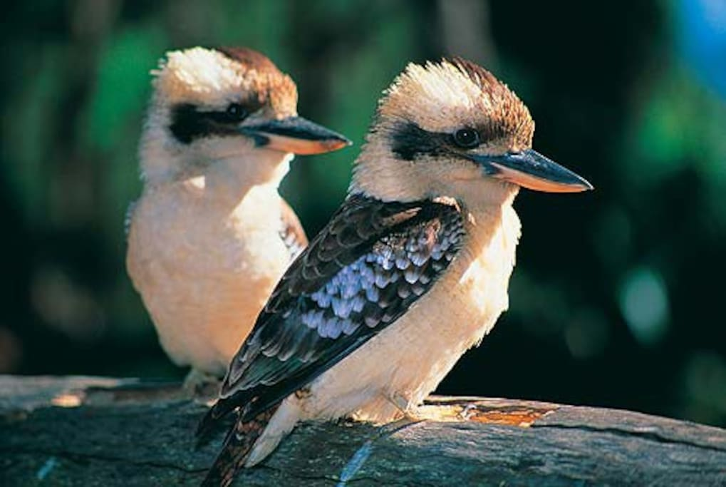 Many birds love to visit.  Always Kookaburras laughing away enjoying the space.