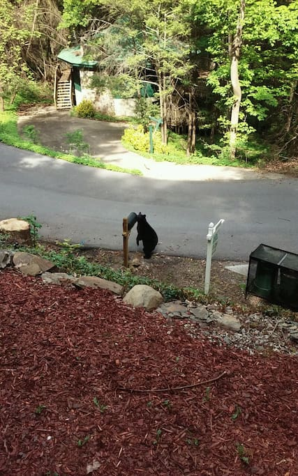Neighborhood Bear checking our mail!