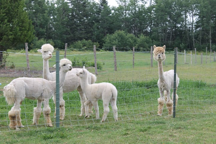 Camping at Brigadoon Fiber Farm Alpacas