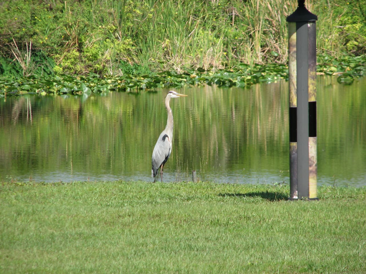 Blue Heron lives on the property