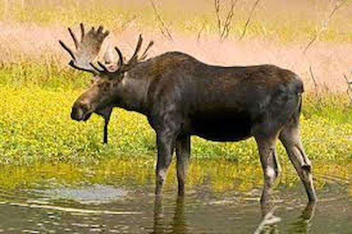 If you are lucky you may see moose wandering outside the cabin.