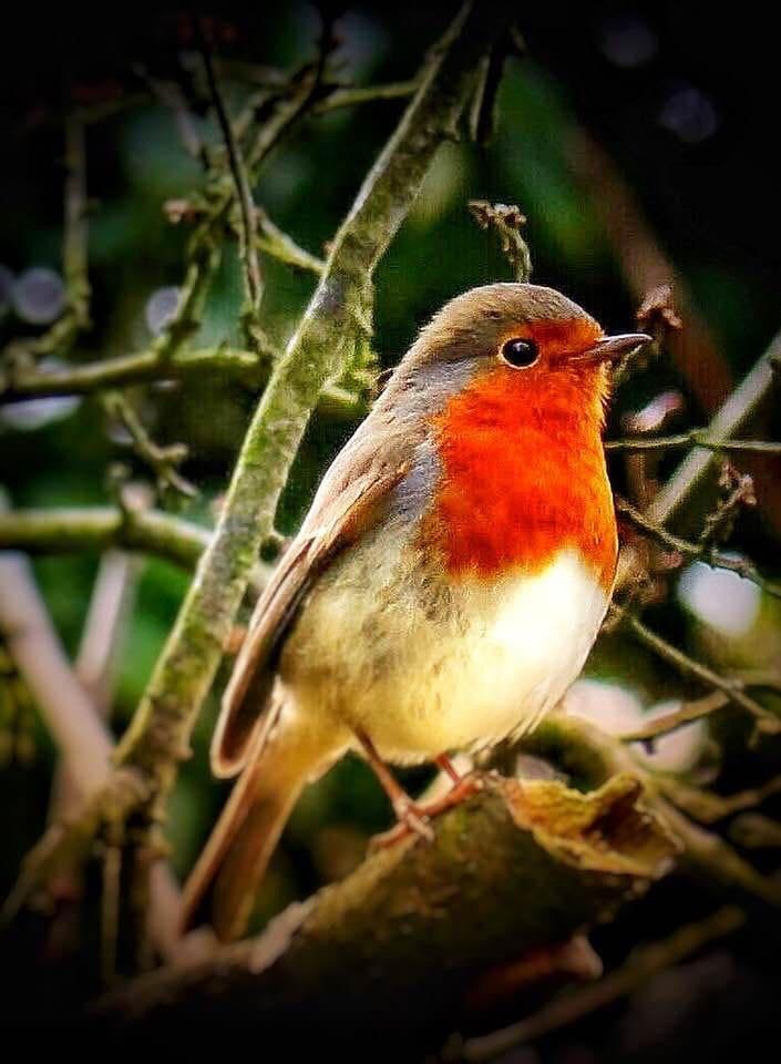 The robin ,le rouge-gorge,het rood borstje,il pettirosso, el petirrojo ,das Rotkehlchen, o tordo...