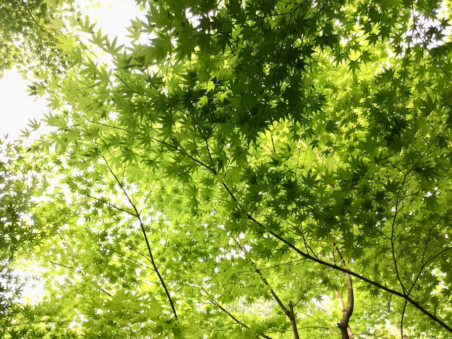 Kyoto has many Maple trees. Fresh green maple leaves are so beautiful!