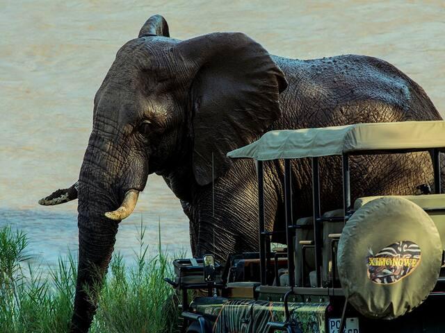 Safari Lodge, Ximongwe River Camp - Hippo