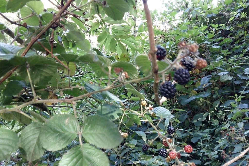 Blackberries all around for breakfast