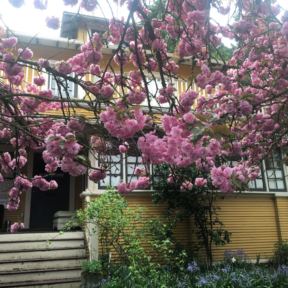 The out side flowering cherry trees