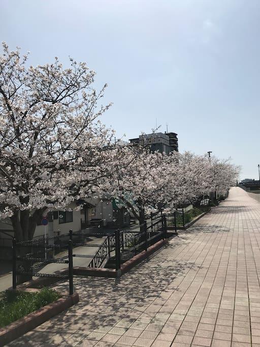 家のそば美しい桜咲きました、2018.3.23日桜、これから10日間には一番綺麗です,