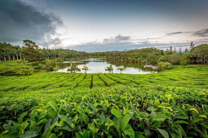 La plantation de thé de Bois Chéri