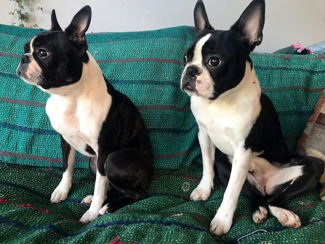 Queenie and Walter (mother and son) Boston Terriers live in the house, so not the house for anyone allergic to pets. They never go in the guest room though