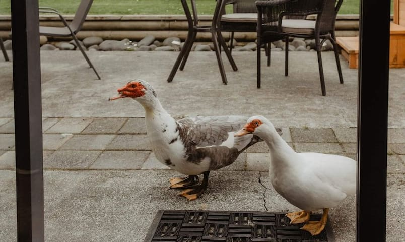 Our friendly Muscovy ducks