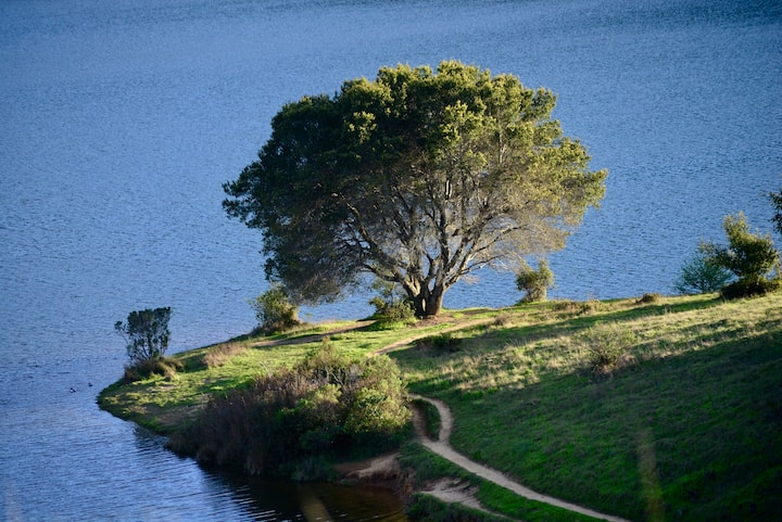 Coast Live Oak next to Bon Tempe Lake