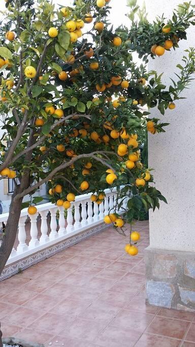 Er du heldig så finner du kanskje appelsiner på treet i hagen?