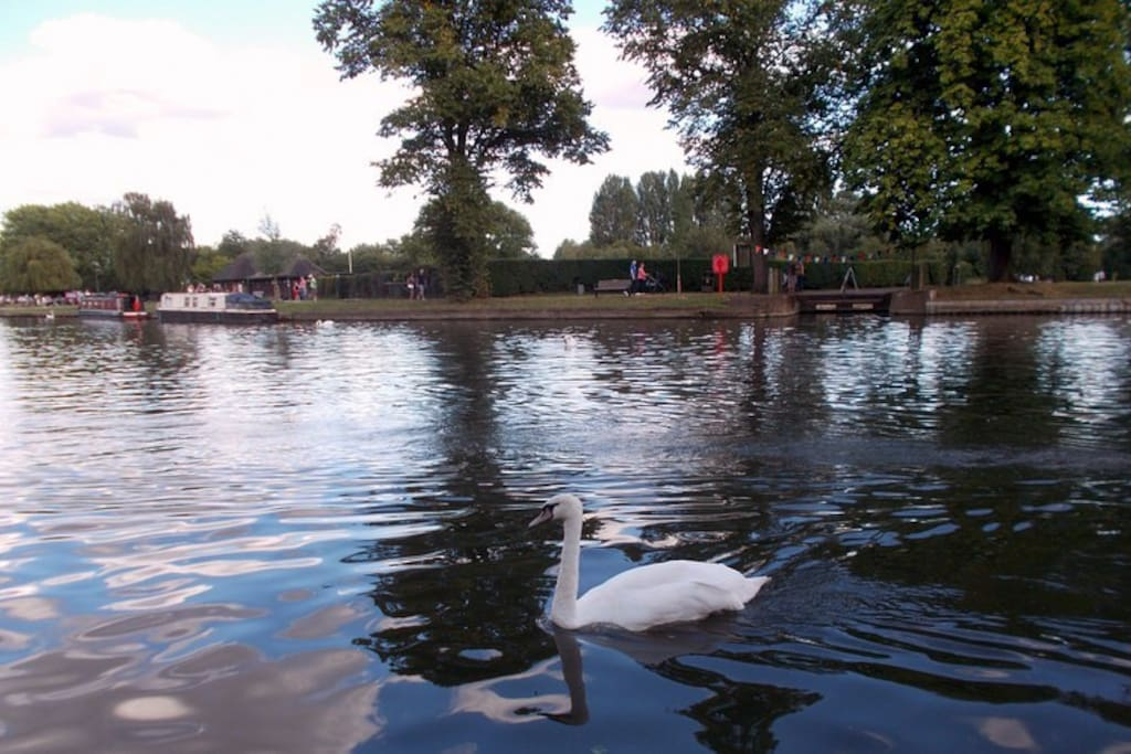 A solitary swan near the RSC