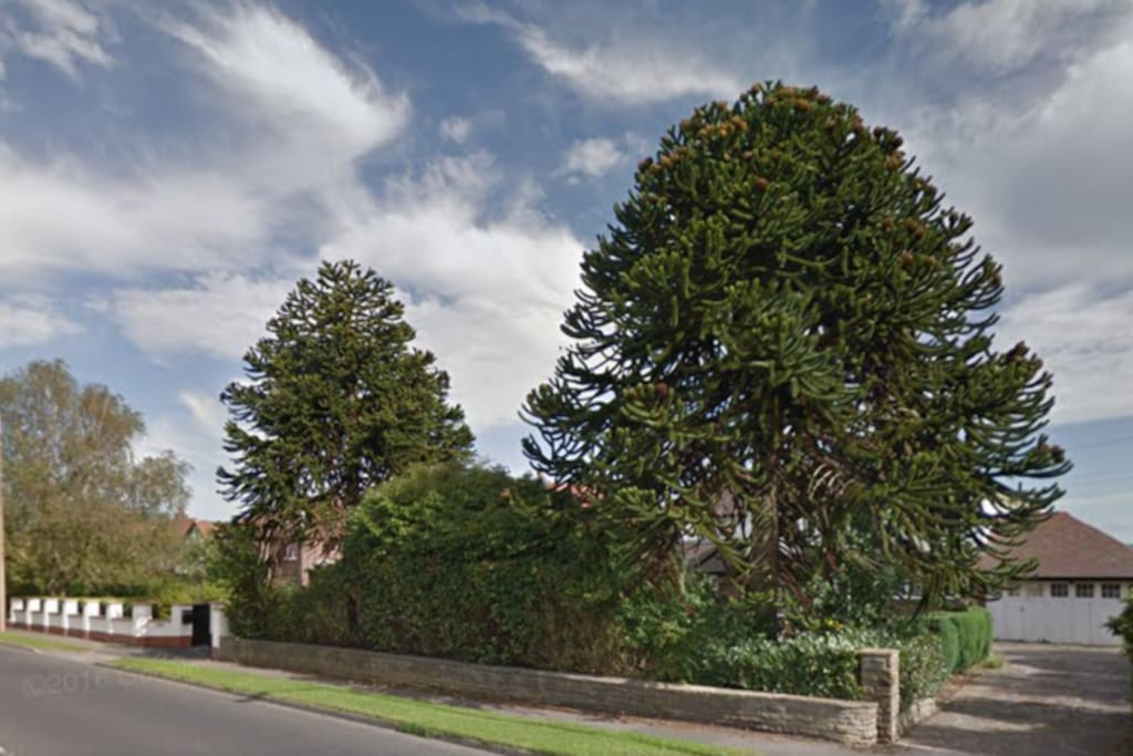 The Monkey Puzzle trees at Meadowside. You can't miss them!