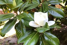 The magnolia is in bloom!
