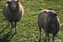 The farm is a white Suffolk stud with rams and ewes in the paddocks near house.  Please do not go into the paddocks. They are not tame.