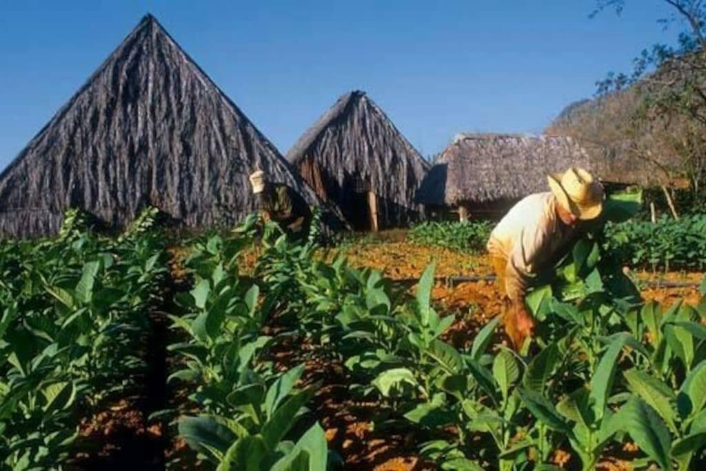 Fincas de produccion de Tabaco
