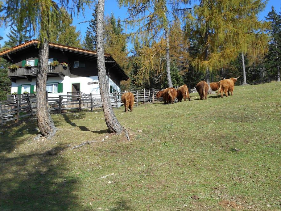 Berghütte im Sommer mit den Hochlandrindern/Villetta in estate con le mucche scozessi