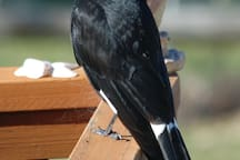 Inquisitive Currawong