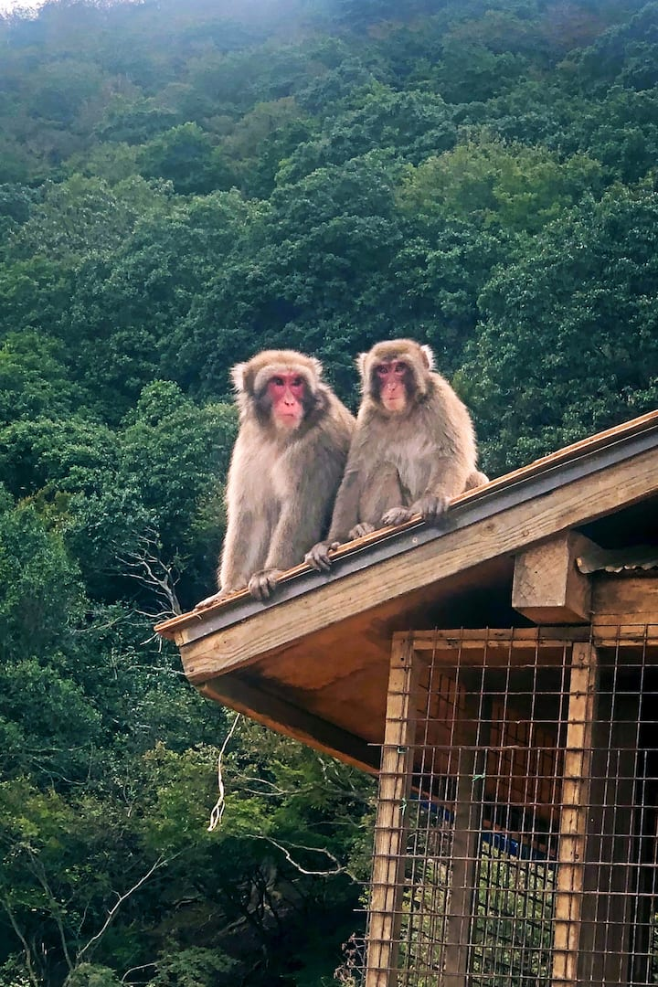 lovely Japanese monkey