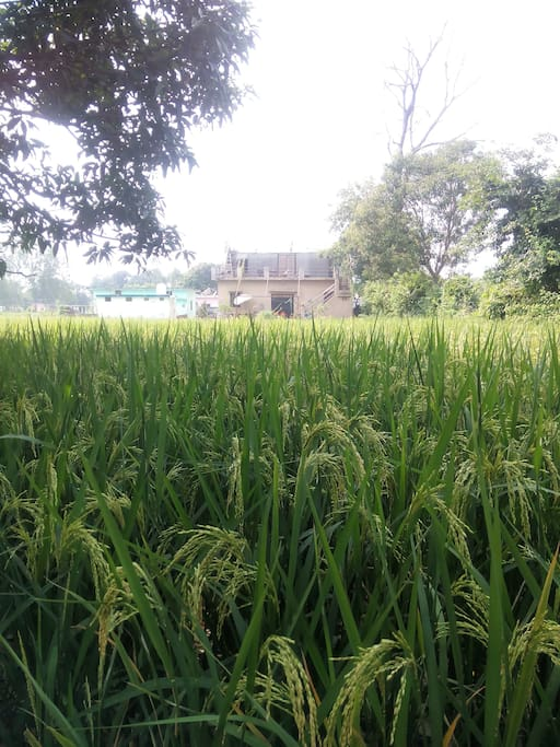 Picture of the homestay's front with lush and green paddy fields in the month of October.