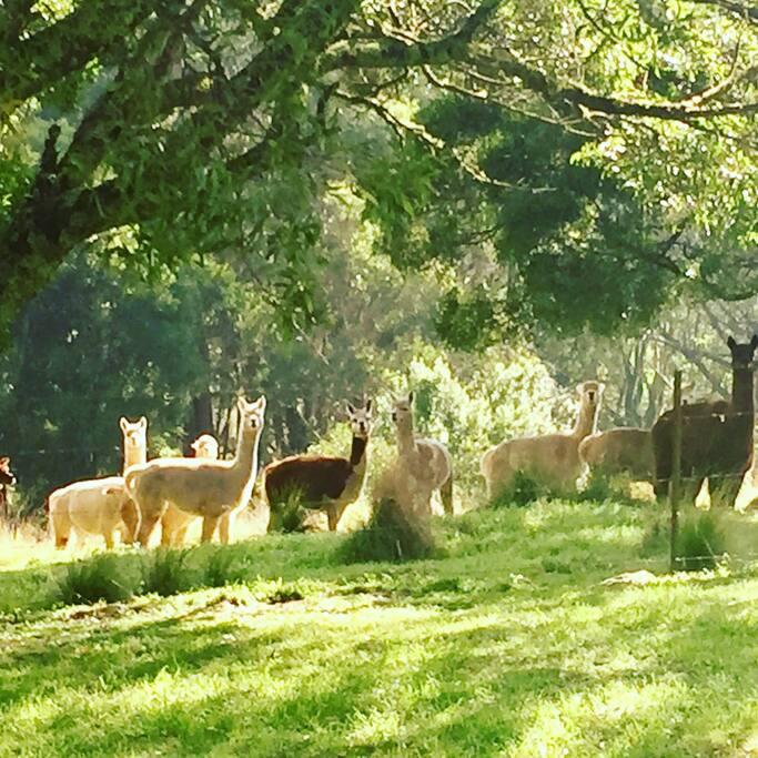 15 beautiful Alpacas live here
