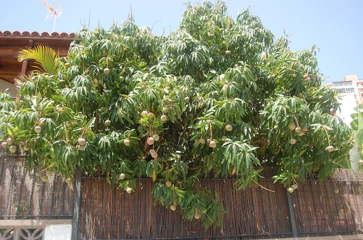 Manga tree in the garden. You will enjoy these delicious fruits during summer time.