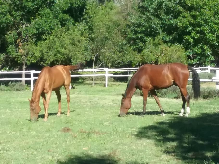 Streak and Toulouse in their paddock