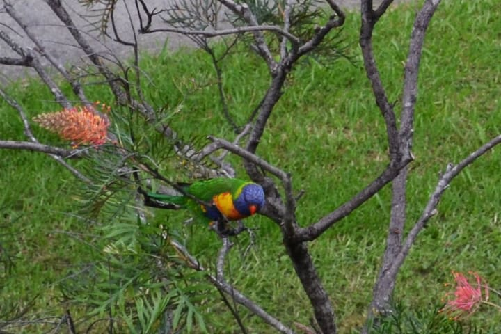 Lorikeets and other native birds will visit regularly to feed.