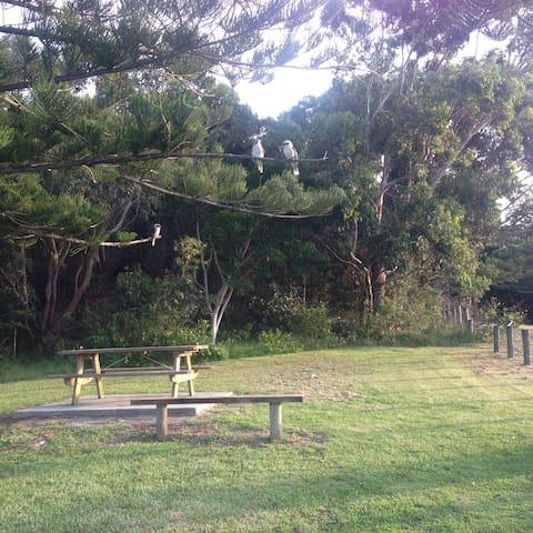 Kookaburras at Blackhead picnic area