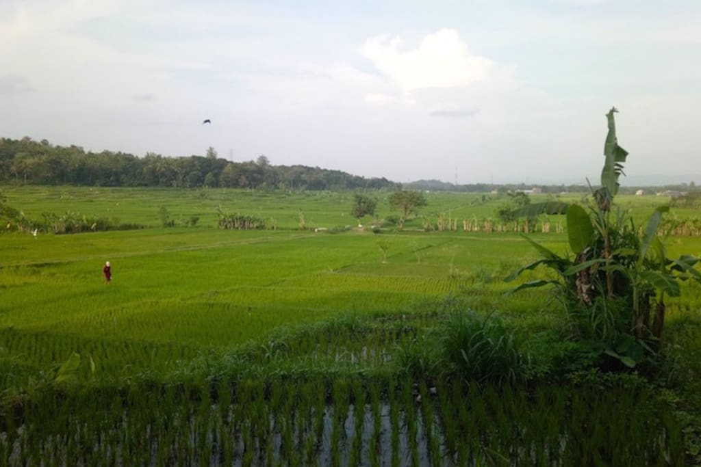 View from Sawah Breeze into the rice fields