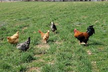 D'Artagnan, our rooster, with hens in the pasture