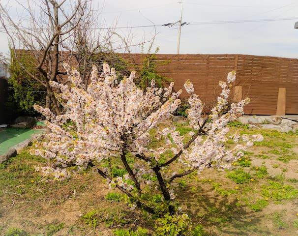 Korean cherry tree