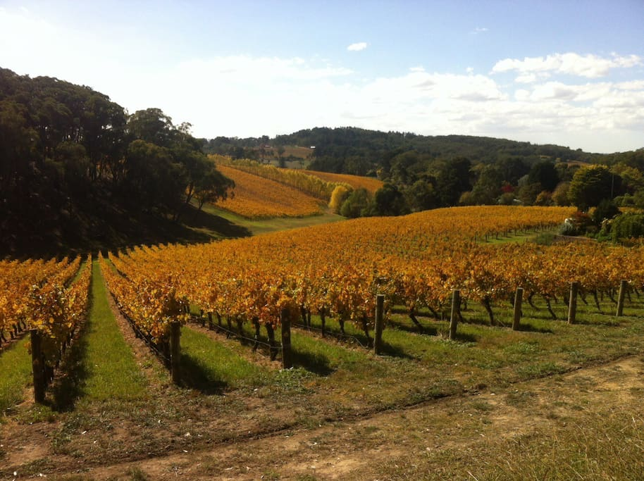 Autumn vineyards along the driveway