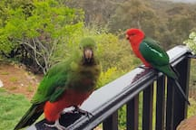 Friendly king parrots visit the verandah. There are many birds in the area and binoculars to help you look.
