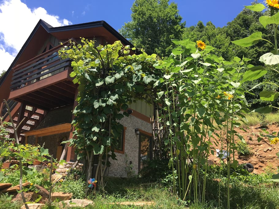 The height for the summer greenery with sunflowers and Concorde grapes on the arbor.