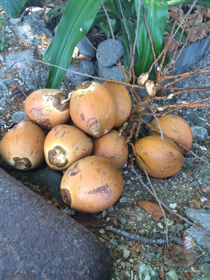 Fresh coconuts from our trees