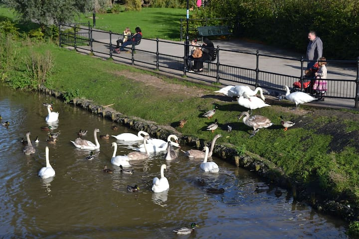 Ducks and royal swans at the river