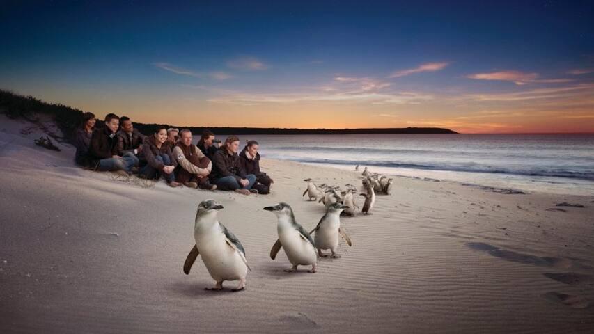 Penguin Parade in Phillip Island