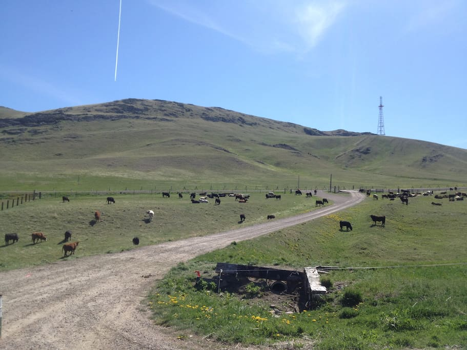 View of the ranch with cattle nearby.